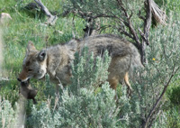 coyote eating rodent