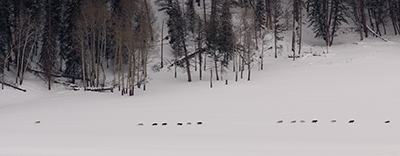 14 druid wolves in Lamar River valley